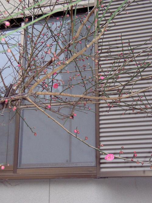 呼子の梅が咲きました